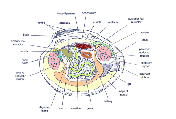 Digestive System Hard Clam Resources